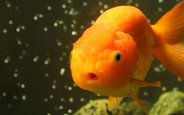 Goldfish are now rampant in many waterways.