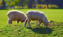 Sheep grazing in Waikato, New Zealand