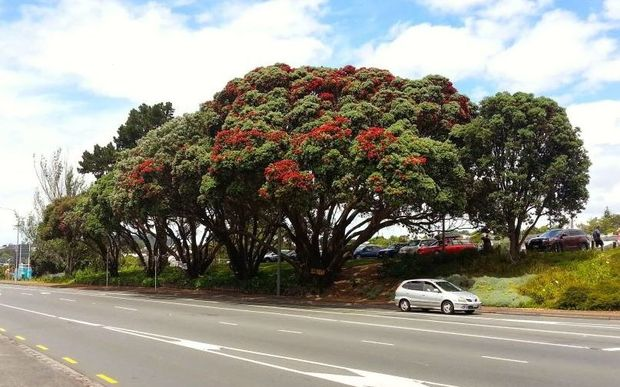 The six threatened pōhutukawa trees opposite the Museum of Transport and Technology in Western Springs to widen Great North Road.
