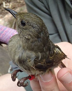 Female hihi are brown, and much drabber than the males, although they have the same distinctive cocked tail. This young female has just been banded with a unique combination of coloured plastic leg bands.