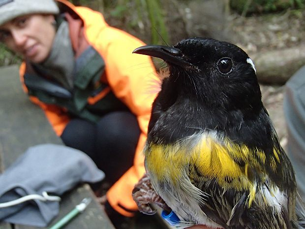 Male hihi are a striking black, yellow and grey in colour. The white eyebrow, that is just visible, is raised when the bird is being territorial. DoC ranger Alisha Sheriff looks on.