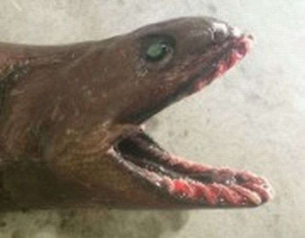 The frilled shark's ancestry dates back 80 million years.