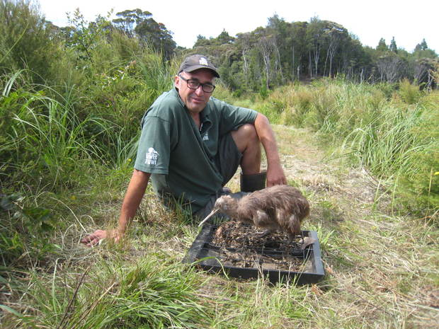 Department of Conservation Ranger Karl Fisher with his stuffed training kiwi Roger.  Roger, an adult Project Kiwi male, was hit by a car in 2013.  He sits on a tray of freshly scented kiwi litter, which had been gathered from another Kuaotunu kiwi currently being raised by Kiwi Encounter in Rotorua.