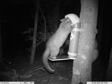 A possum feeding from a 'Spitfire' device attached to a tree.