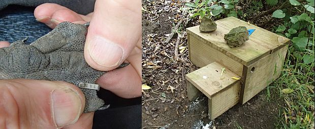 Little penguins on Matiu Somes Island have been banded with tiny web tags, on their feet. More than 300 nest boxes have been placed around the island and are well used.