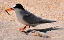 The fairy tern is New Zealand's most endangered bird.