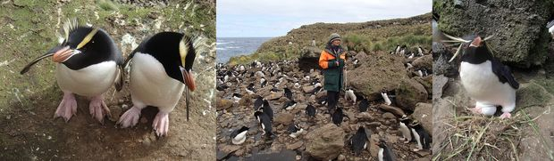 Penguins on Antipodes Island: erect-crested penguins (left); Denise Fastier counting penguins; and rockhopper penguin incubating an egg (right).