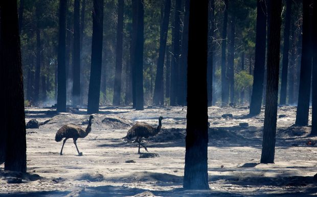 Two emus walk through the smoke-filled Pinjar Pine Plantation in Wanneroo, north Perth, after a fire swept through the area.