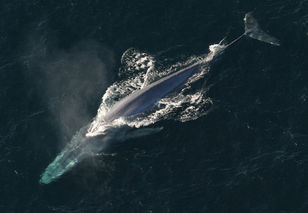 Antarctic blue whales, the world's largest animals, are one of the species studied during a six-week New Zealand/Australian expedition to Antarctica.