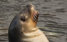 New Zealand sea lion.