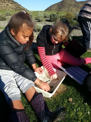 Students from the Koraunui School sorting through material and invertebrates they found in the stream.
