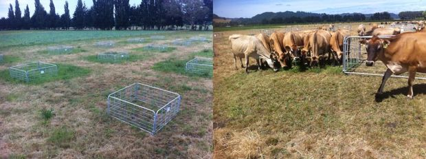 The grass clearly is greener on the other side: these trial plots show that the flipped soil holds water for longer and produces more grass during the dry season.