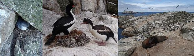A fulmar prion (left) hiding under a rock on the Bounty Islands; Bounty Island shags (centre) in breeding colours and with a newly completed nest; and a New Zealand furseal (right).