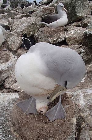An adult Salvin's albatross, sitting on a nest made from guano, checks on its chick which has pipped through the eggshell and is beginning to hatch, a process that may take up to five days.