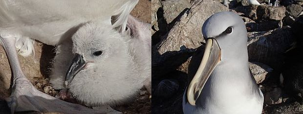 Salvin's albatrosses are small albatrosses which breed only at the Bounty Islands and on the Western Chain near the Snares. The chick (left) will take 4-5 months to fledge.