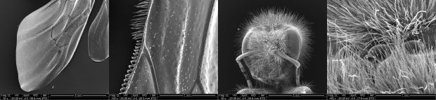 Four electron microscope images, showing the wing and head at different magnifications. The bee died of natural causes.
