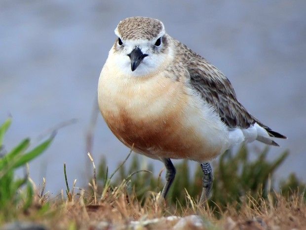 There are just over 2000 northern New Zealand dotterels, and they are found around much of the North Island. Another subspecies now breeds only on Stewart Island.
