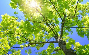Sun shining through a tree's leaves. Plants take energy from sunlight, water and carbon dioxide, and use photosynthesis to produce sugars and oxygen, splitting water in the process.