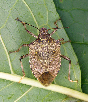 A male Brown Marmorated stink bug.