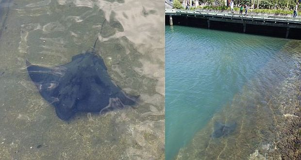 Eagle rays are a common sight in Wellington's Frank Kitt's lagoon during the summer months, either swimming around or basking in the shallows.
