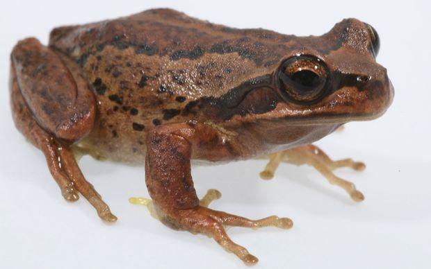 Frog population falling | RNZ News