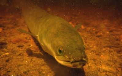 Who will follow tribe's eel fishing policy?