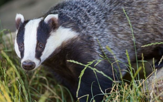 European badgers, especially males, can be aggressively territorial.