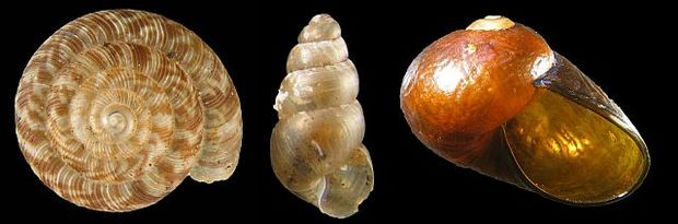 A selection of New Zealand land snails, showing a variety of patterns and shapes. From left to right, Phenacohelix lucetta, Tubuaia novoseelandica and Wainuia urnula, which is one of our largest land snails. It can be 2-3 cm across, and hunts amphipods.