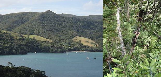 Glenfern Sanctuary is situated on the northern side of Port Fitzroy Harbour, on Great Barrier Island, and is part of the Kotuku Peninsula Sanctuary (left). Scott Sambell stands on a walkway leading out to a viewing platform high in the canopy of a kauri tree (right).