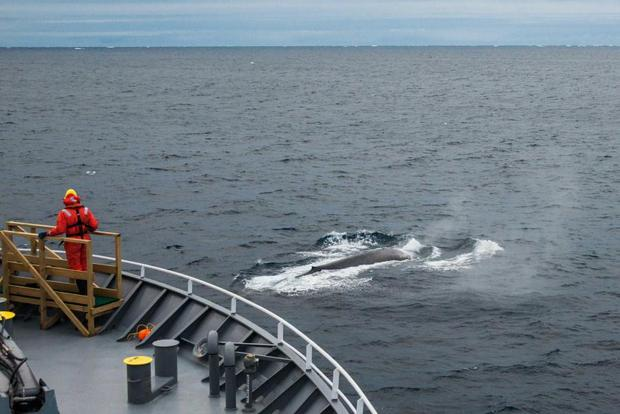 Scientists on FV Tangaroa sight blue whale in the Southern Ocean.