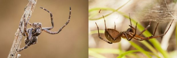 These two spiders are found in New Zealand. On the left is a male orb-web Eriophora spider, and on the right a sheet-web spider, Cambridgea sp.
