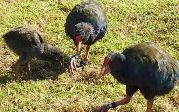 The first island-born Takahe chick.