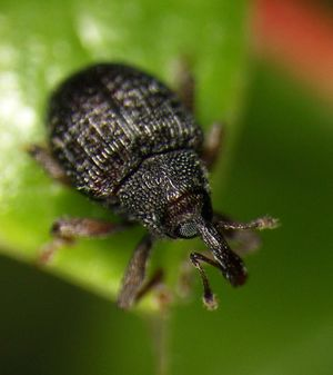 Barberry seed weevil
