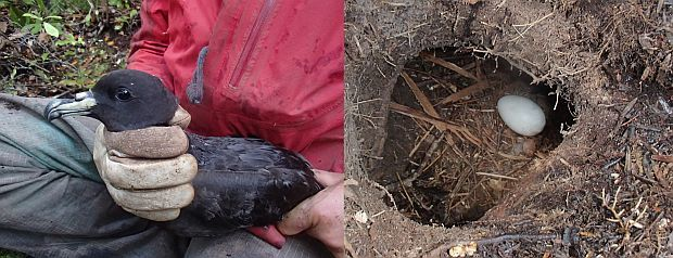 Black petrels, with a wing span of about 1.1 metres, breed in underground burrows; they lay a single egg, which is visible here through a researcher's nest access tunnel, which is usually covered with a lid.