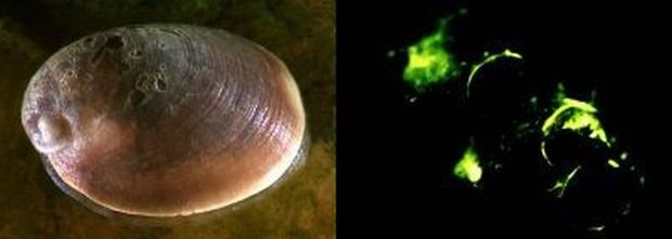 The shell of luminescent limpets is paua-shaped and thicker than that of other freshwater limpets found in New Zealand.