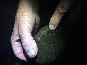 Luminescent limpets like stony streams and are found in most parts of the North Island, but not in the South Island.
