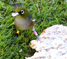 Hands off! A banded silvereye stakes a claim to a piece of bread.