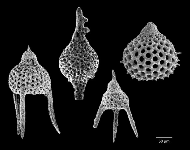 Radiolaria are tiny animals that produce intricate mineral skeletons. They are found as zooplankton throughout the world's ocean, and their skeletal remains are found in sediments that form on the ocean floor.