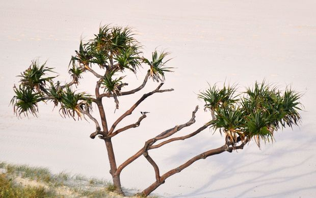 A cabbage tree growing by a sand dune. (File photo)