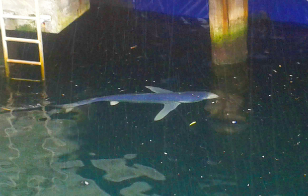 A blue shark trapped in Wellington inner harbour.
