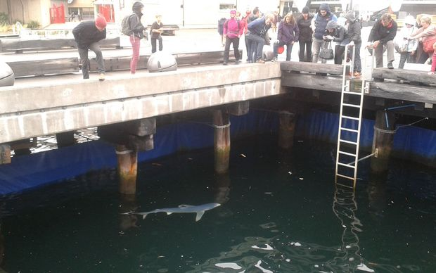 People watching a blue shark trapped near Te Papa on the Wellington waterfront.