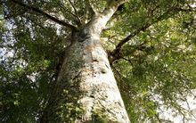 Large kauri in the Waipoua Kauri Forest