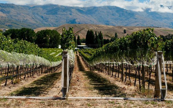 Vineyard in Central Otago's Gibbston Valley