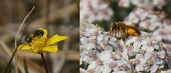 These native bees, from two different genera, both have full pollen sacs on their legs. The Lasioglossum species (left) is on a native Ranunculus flower, and Leioproctus fulvescens (right) is on an introduced Achillea flower.