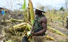 Locals harvest paw paw from fallen fruit trees in Mele, Vanuatu after Cyclone Pam