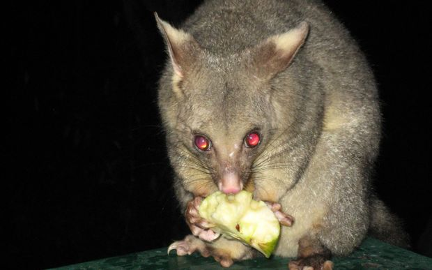 controlling possum in new zealand with 15022000 in the 52nd new zealand parliament there are five parliamentary parties represented by 120 mps these mps represent 64 general electorate seats and seven.