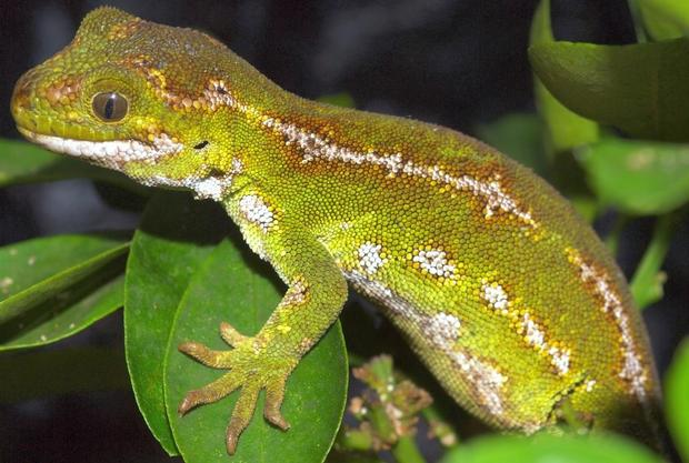 A female jewelled gecko.