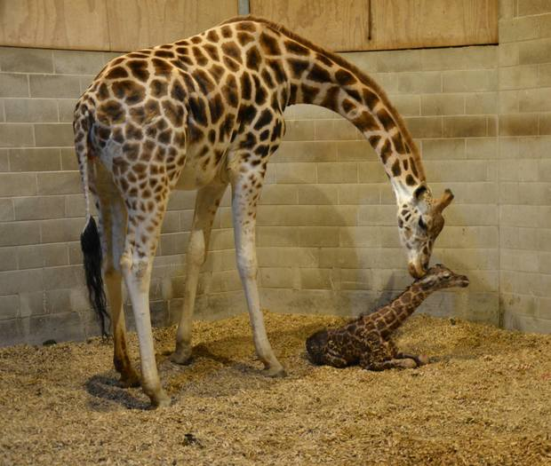 A full-grown giraffe's neck is 1.8 metres long - roughly the same length as Auckland Zoo's newest arrival.