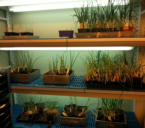 A photo of short and long day onions growing in the plant room at the University of Otago