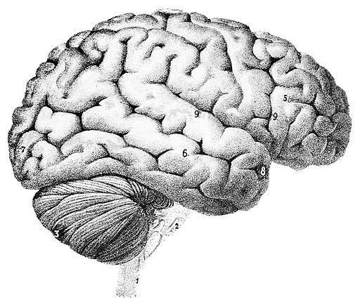 Image of a human brain